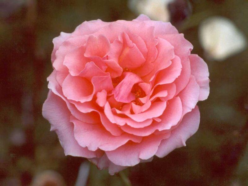 Pink-rose-flower
