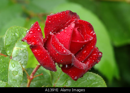Red-rose-flower-stock-image