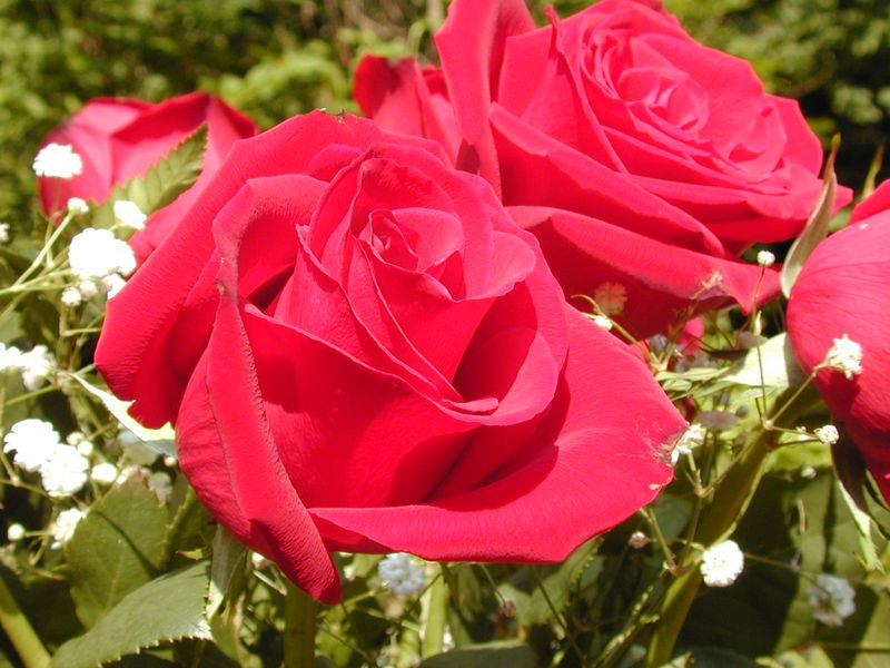 Red_rose_flower3