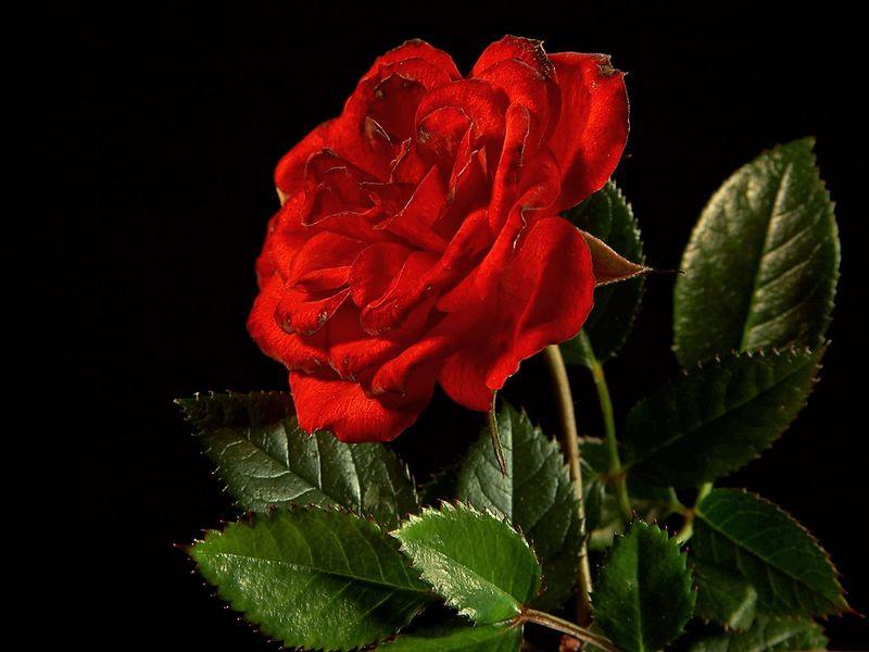 Rose_02_bg_040106