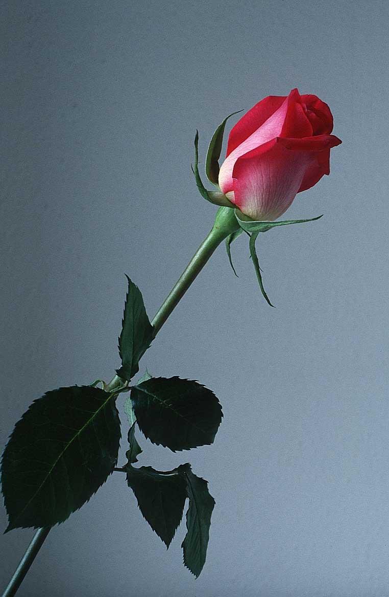 Rose-flower01