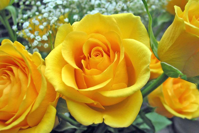Single-yellow-rose
