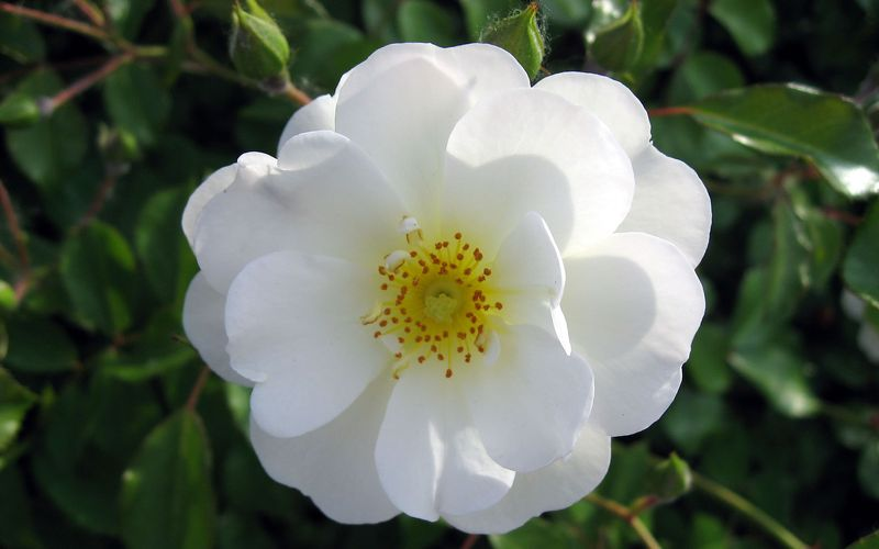 White-rose-flower-wallpaper-wide-full-hd0252